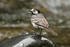 Pied wagtail (Shane Jones) Tags: bird river nikon wildlife piedwagtail wagtail tc14eii 200400vr d7000