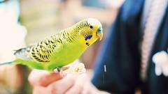 P6281031 (yuurei) Tags: woodlandparkzoo wpz budgie bird