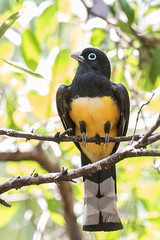 Gartered Trogon (arthurpolly) Tags: santarosanationalpark avian avianexcellence beautiful birds canon costarica 7dmk2 100400is eos elements13 flickrdiamond holiday nature natureselegantshots naturesfinest nationpark photoshop unforgettablepictures wildlife exotic