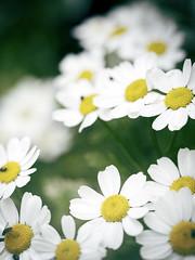 Feverfew (Jam-Gloom) Tags: flowers white flower macro floral whiteflower bokeh olympus florals herb omd feverfew whiteflowers 60mmmacro tanacetum tanacetumparthenium 60mm28 parthenium em5 bokehlicious bokehful 60mmmacro28 olympusomd olympusomdem5