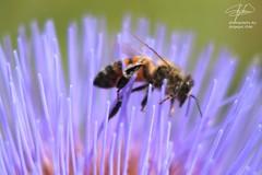 Pollination (SOBREVALORADO) Tags: chile flowers abejas naturaleza flores insectos flower macro primavera nature colors canon spring flora plantas natural bees flor insects colores polen campo silvestre campestre entomologa nativo polinizacin floracin puchuncav