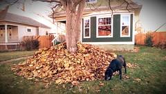 Three Feet High and Rising (Kenneth Wesley Earley) Tags: autumn dog house fall home leaves spokane stack rake pile northcentral frontyard spokanewa coldsnap 99205 spokanistan emersongarfield htconem8 spokandyland
