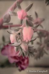 Rosularia flower (campmusa) Tags: crassulaceae sedum orpine succulents houseplants stonecrop saxifragales dicotyledons aeoniumcanariense