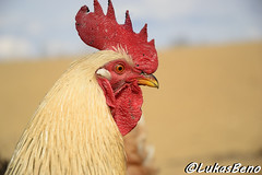 Rooster (LukasBeno) Tags: red portrait people food white male green bird chicken nature grass animal closeup yard rural out studio one colorful looking shot head cut farm no background farming profile beak feathers feather free nobody cock meat domestic curly poultry rooster organic agriculture gallus isolated vertebrate domesticus feathered domesticated cockerel