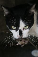 Leave me alone (N808PV) Tags: cat canon mouse temple close bangkok 100 6d