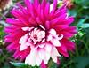 Flower (MrsMarple Bremen) Tags: aster niceflower