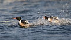 Chase 1 (Phal44) Tags: bird canon sussex duck lagoon 7d mk2 waterfowl shoreham merganser 14tc widewater 200400mm 7d2