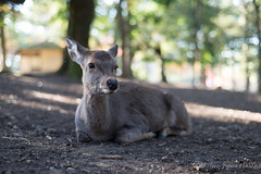(GenJapan1986) Tags: 2014       deer animal nara japan nikond600 zf2 planart1450 carlzeiss