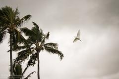Bird in flight (kit) Tags: bird hawaii oahu kualoaregionalpark