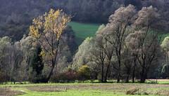 Argento (lincerosso) Tags: trees alberi landscape poesia autunno paesaggio bellezza argento armonia salici salixalba valledelpiave anz salicebianco