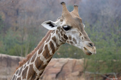 Giraffe (ray2pixel) Tags: nikon korea safari themepark everland 2014 d610