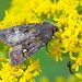 Bristly Cutworm Moth (Lacinipolia renigera)