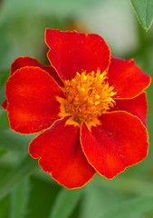 French Marigold 'Disco Red' (tagetes patula) (celerycelery) Tags: flowers red plants plant flower nature garden gardening horticulture redflower redflowers plantsandflowers