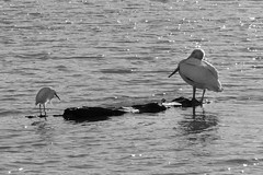 Hierarchy (ScottMPhotos1) Tags: blackandwhite nature water birds landscape wildlife lakes pelican canont3i
