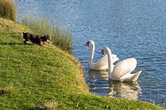 L'art du combat (pjparra) Tags: dog chien lake bird nature water fight swan eau wildlife lac combat oiseau cygne concoursgrandir pierrejeanparra