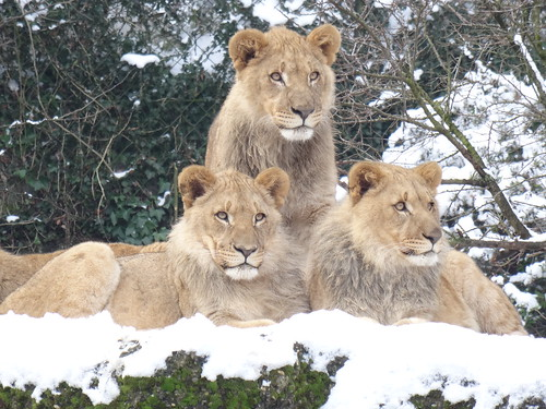 Adolescent African Lions, Basel Zoo, Switzerland