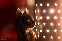 Estrelinha(s) (angela.macario) Tags: brazil luz animal brasil estrela gato gata luzes estrelinha goiânia gatinho goiás estimação gatinha luminária bichinho ângela macário