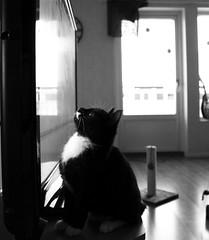 Stella (alindinlarsson) Tags: baby white black cute cat tv cozy eyes sweetheart katt svart bebis vit hjärta älskling ögon tassar tittar hjärtat gosig loocklig