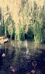 Ducks in the Willow (Ben-Webster) Tags: reflection water duck pond ripple willow mallard