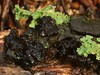 """Gelatinous blob"" of Black Witch's Butter (Exidia glandulosa, Tremellales) fungus (Treebeard) Tags: california mushroom santabarbaracounty sanmarcospass basidiomycetes agaricales tremellales hymenomycetes gelatinousblob exidiaglandulosa blackwitchsbutter"