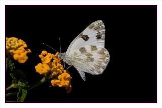Pontia daplidice butterfly