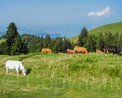 Cows on Mount Rigi, Central Switzerland (jag9889) Tags: 2005 mountain lake landscape schweiz switzerland cow europe suisse suiza meadows luzern alpine svizzera lucerne ch weggis rigi innerschweiz y2005 20050905 zentralschweiz centralswitzerland mountrigi kantonluzern cantonlucerne jag9889