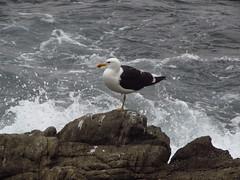 Gaviotas (Guillermo Feli) Tags: ocean chile seagulls birds photography aves pacificocean gaviotas oceano