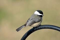 Black-capped Chickadee - 2015 (deanrr) Tags: winter bird backyard bokeh alabama feeder chickadee blackcappedchickadee 2015 morgancountyalabama