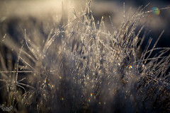 The frosty grass (hawk_mia) Tags: winter snow cold art ice canon 50mm frost bokeh mark iii sigma 5d lightroom focal sigma50mm canon5dmarkiii sigma50mmart
