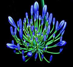 Sapphire' chandelier (shumpei_sano_exp9) Tags: blue golddragon platinumphoto aplusphoto ysplix theunforgettablepictures theunforgettablepicture goldstaraward fabulouscapture awesomeblossoms