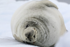 Crabeater Seal (Baractus) Tags: john point antarctica le seal portal peninsula oates antarctic boreal weddell inthewakeofshackleton