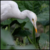 Cattle egret (গো বগা) (tareq uddin ahmed) Tags: birds canon cattle wildlife ibis ahmed egret chittagong uddin tareq bubulcus 70d bagladesh বগা গো