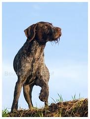Duitse Draadhaar (bo foto) Tags: fotografie pointer hond wirehaired boudewijn honden draadhaar olthof
