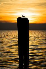 A lonely ranger (ReoBerto) Tags: sunset italy orange sun lake water birds lago wings garda tramonto gulls flight ali uccelli volo sole acqua arancio gabbiani lazise
