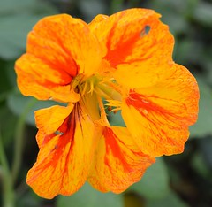 Nasturtium Tropaeolum majus multicoloured close up (brigitte.watz) Tags: oslo norway tropaeolum blomster nasturtium majus blomkarse dekorasjoner spiselig sommerblomst blomsterbed ettrig edibelflowers