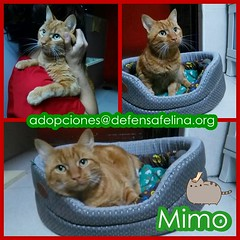 MIMO (Cartel 02) (Asociacin Defensa Felina de Sevilla) Tags: espaa sevilla gatos felinos animales gatitos adoptar protectora adopciones apadrinar gatosurbanos defensafelina asociacindeanimales coloniasdegatos proteccindegatos activismoporlosanimales