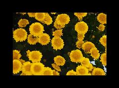 "Daisy (karakutaia) Tags: sun tree love nature japan paper temple japanese tokyo heart superb card e simply sogno rockpaper afotando ""flickraward"" flickrglobal elementsorganizer allbeautifulshotsandmanymoreilovenature flowerstampblackandwhite transeguzkilorestreetarturbanagreatshotthisisexcellentcontestmovementricohgxr""serendipitygroupbluenatureicapture flickraward5""j tra realtabstract"