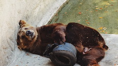 Lazy day (Urest) Tags: bear nature animal zoo sony natureza zoolgico urso qx xperia sonyxperia qx10 xperiaz3