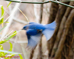 Eastern Bluebird (mikerhicks) Tags: winter usa birds geotagged unitedstates nashville hiking tennessee wildlife easternbluebird tennesseestateparks radnorlakestatepark radnorlakestatenaturalarea oakhillestates canon7dmkii sigma18250mmf3563dcmacrooshsm geo:lat=3606374500 geo:lon=8680466833