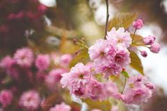 Cherry flowers (kinga.lubawa) Tags: flowers flower colors canon spring sensual kwiaty wiosna kwiat kolory kolorowe soneczny sonecznie canon6d