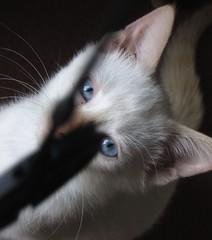 oh lenscap you taunt me so.. (CatnessGrace) Tags: blue cats pets white portraits chats chat blueeyes siamese gatos gato felines katze cateyes domesticanimals gatto katzen gatti siamesecats whitecats petportraits catportraits animalportraits catfaces whitekittens siamesekittens felineportraits