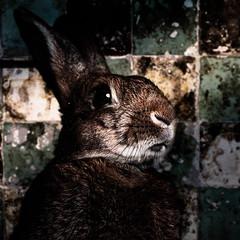 If Tomorrow Never Comes (Jeric Santiago) Tags: pet rabbit bunny lyrics conejo lapin hase kaninchen petphotography   compositephotography ronankeating garthbrooks winterrabbit