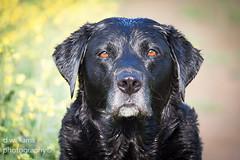 (danny williams1) Tags: dog dogs animals labrador labradorretriever blacklabrador