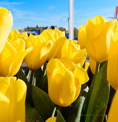 Tulips in Amsterdam (ImageGraph-Y) Tags: netherlands amsterdam nederland tulip tulp