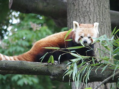 Panda Roux (VALV!DAL) Tags: china nature leaves animal animals forest rainforest panda arbres jungle foret bambou chine feuilles plantes branche faune hauteur perch bambous pandaroux petitpanda