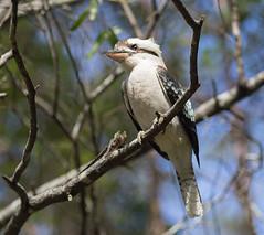 Kookaburra (Igor Serikba) Tags: blue sky bird leaves forest canon eos bush branches queensland gumtree kookaburra 6d jupiter37a