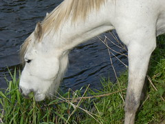 A horse on the bank of the River Mersey seen from the A34 (stillunusual) Tags: city uk england urban horse nature landscape manchester pony stockport urbannature riverbank whitehorse mersey kingsway urbanlandscape mcr a34 urbanscenery 2016 rivermersey