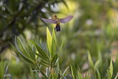 Free as a bird (Knotty_Bug) Tags: sunlight nature garden fly bokeh d750 sunbird 200500