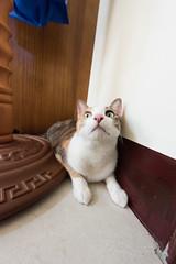 20150405-DSC_2710 (Noelas) Tags: pet cat ed momo nikon 04 g 05 taiwan mo nikkor dslr      yunlin 2015  1424 d810  nikond810 1424mm 142428 nikonnafsnikkor1424mmf28ged