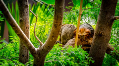 Spied On (chenstephanie) Tags: trees sleeping green forest monkey jungle tropical
